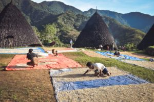 Drying coffee beans from their local plantation at Wae Rebo village on Flores Island